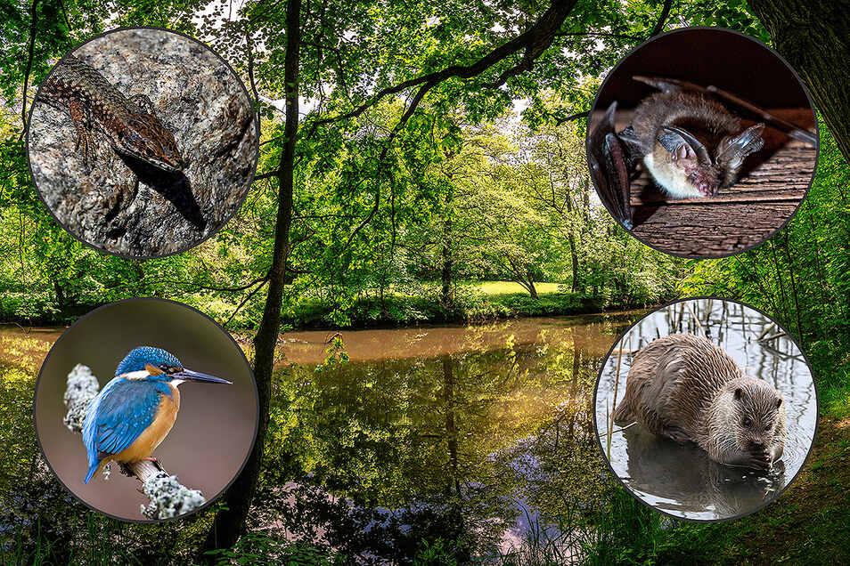 Die Zauneidechse, die Braune Langohr-Fledermaus, der Eisvogel und der Fischotter - sie alle wären vom Bau des zweiten Abschnitts der Bautzener Südumfahrung betroffen.