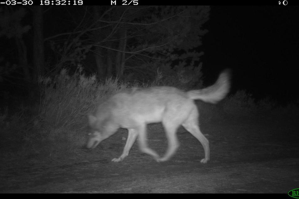 Während der Wolf um einiges größer ist.