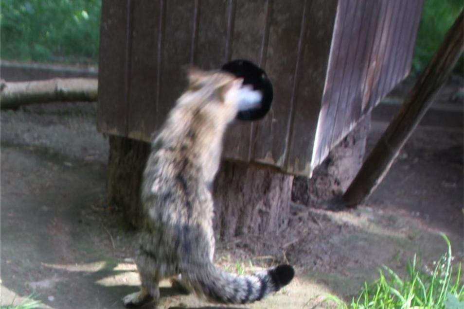 Die Deutsche Wildtier-Stiftung rief die Europäische Wildkatze zum Wildtier des Jahres 2018 aus. Damit will die Stiftung auch darauf hinweisen, dass die Wildkatze auf einer Roten Liste als gefährdetes Wirbeltier eingestuft wird.