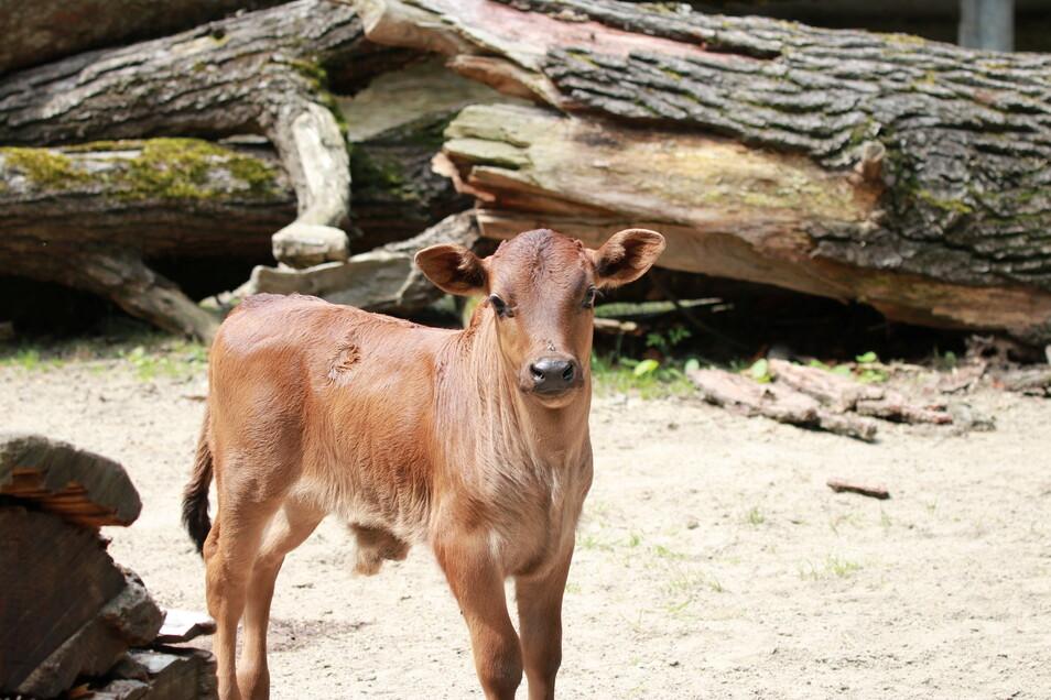 Im Tierpark Chemnitz ist ein kleiner Zwergzebu-Bulle zur Welt gekommen.