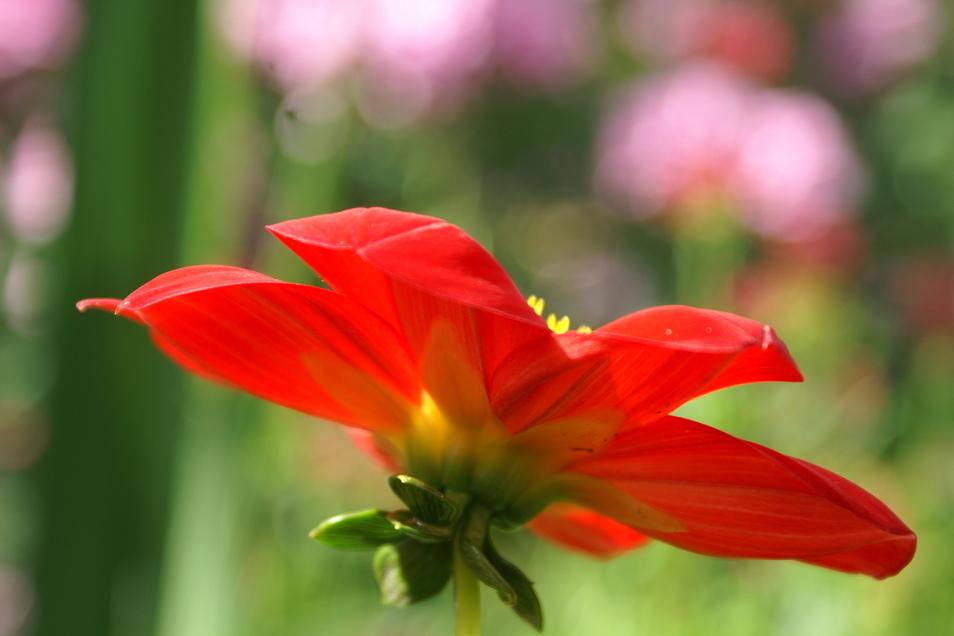 Die Dahlie blüht zwar erst im Sommer, deshalb lohnt es sich, jetzt die Knolle auszuwählen.