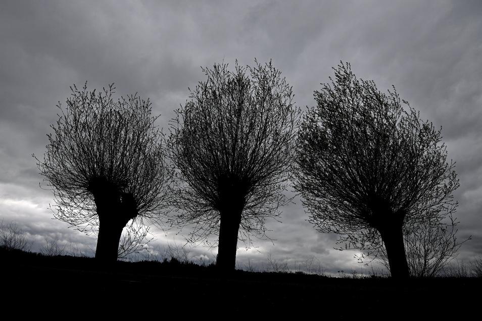 Dunkle Regenwolken ziehen am Himmel über drei Weiden an einem Feldrand. Das Wochenende in Sachsen wird grau und nass.