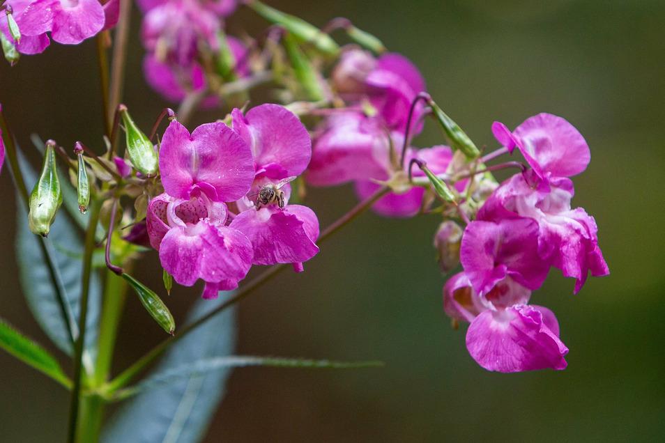 Die kräftigen rosa Blüten sehen schön aus, ein Grund, weshalb das Gewächs als Zierpflanze nach Europa kam.