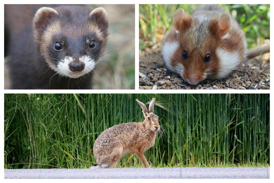 Unter den bestandsgefährdeten Arten sind unter anderem Feldhase, Iltis und Feldhamster.