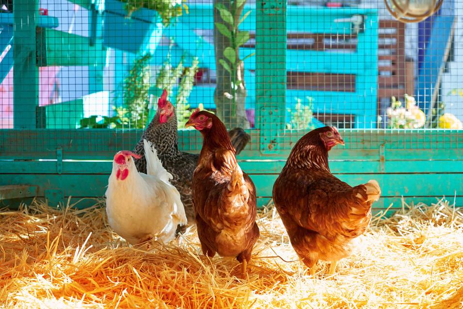 Die eigenen Hühner im eigenen Garten: für viele Hobby-Farmer ein Traum. Und mit dem richtigen Futter werden Tiere und Halter glücklich.