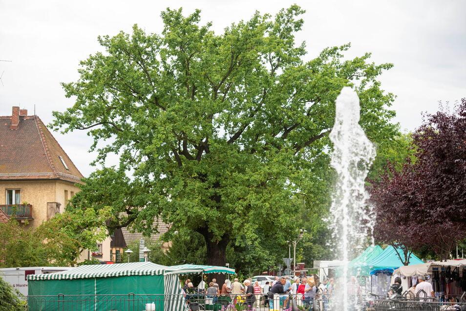 Marktgeschehen auf dem Coswiger Wettinplatz unter dem stadtbekannten Baum.