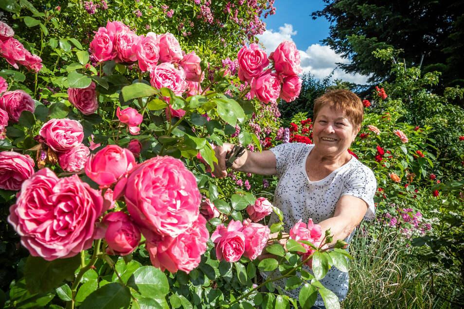 Martina Züchner zeigt die blühenden Rosen in ihrem Garten. In diesem Jahr gedeihen sie besonders prächtig.