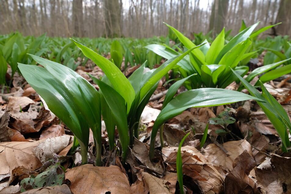 Bärlauch - Allium ursinum - wächst in schattigen, feuchten Laubwäldern und in Talauen. Kleine Mengen dürfen geerntet werden, wer größere Mengen für den Eigenbedarf mitnehmen möchte, benötigt die Zustimmung des Waldbesitzers und der Naturschutzbeh