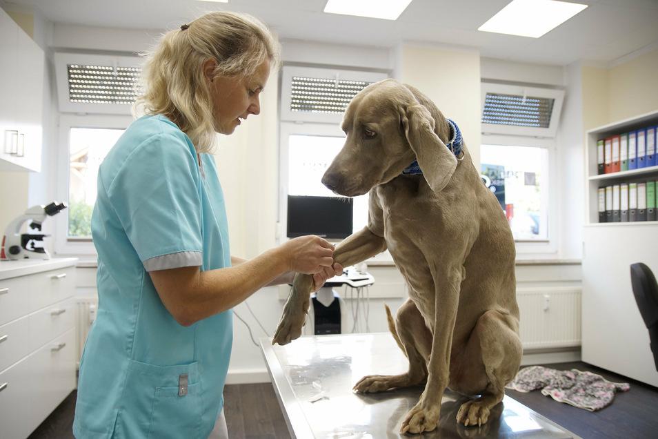 Tierärztin Franziska Miserski eröffnet in Nossen eine neue Tierarztpraxis. Hund Willi ist das Maskottchen.