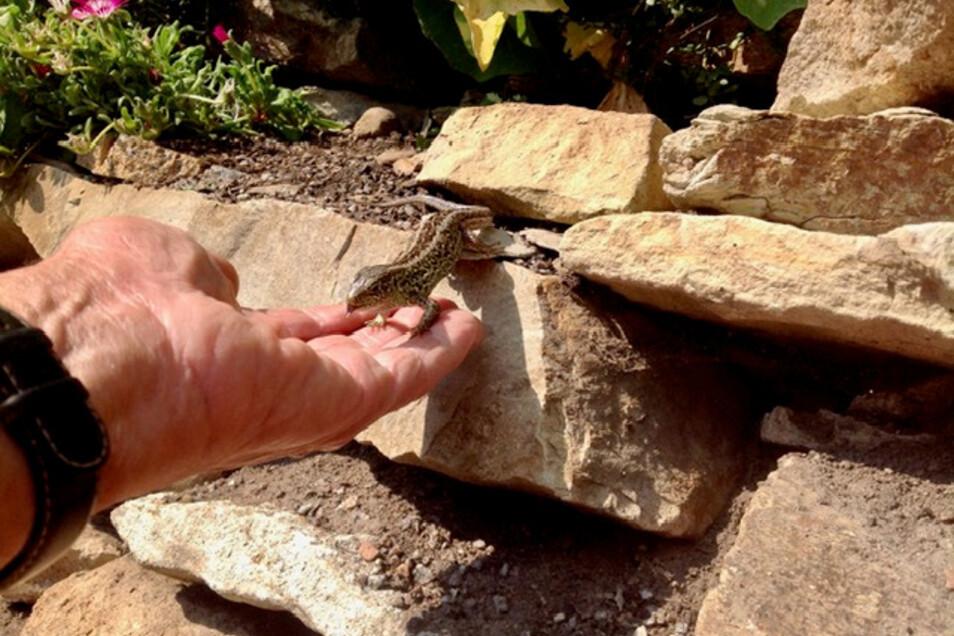 Die Zauneidechsen waren so zutraulich, dass Schlicke sie aus der Hand füttern konnte.