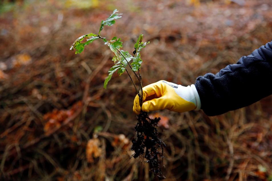 Eine Baumpflanzaktion startet der Bautzener Leo-Club am 25. September am Drohmberg.