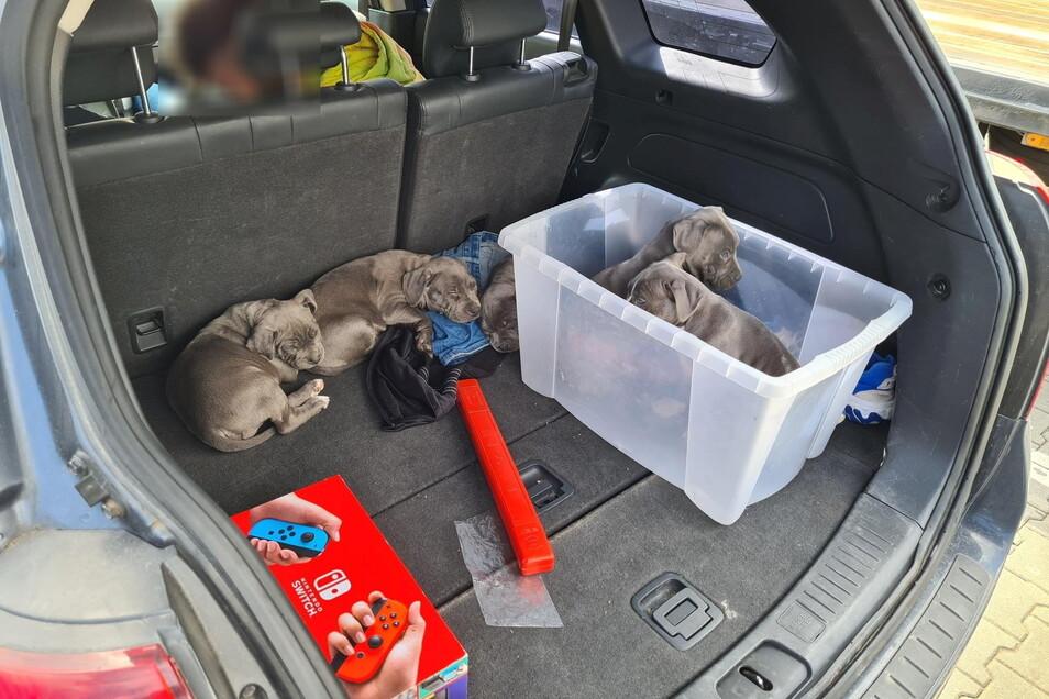 Hundewelpen werden wie hier im Bereich der Bundespolizei-Inspektion Ludwigsdorf illegal über die Grenze gebracht. Oft zu jung und unter schlechten Transportbedingungen.