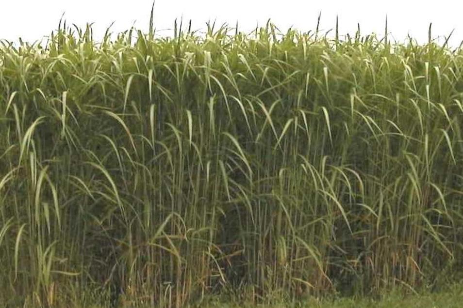 Miscanthus ist aufgrund der feinen, tiefreichenden Wurzeln die perfekte Pflanze zur Bodenlockerung. Auch die Humusbilanz ist positiv.