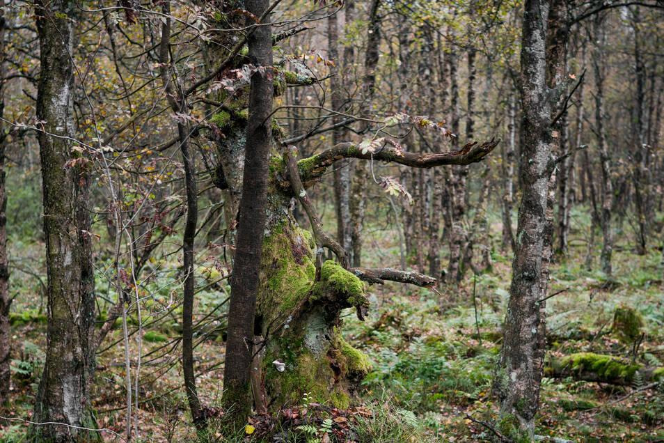 Knorrige Baumgestalten bevölkern das Rote Moor in der Rhön (Hessen). In den Mooren ist der Anteil der dort lebenden Arten um mehr als 80 Prozent zuückgegangen.