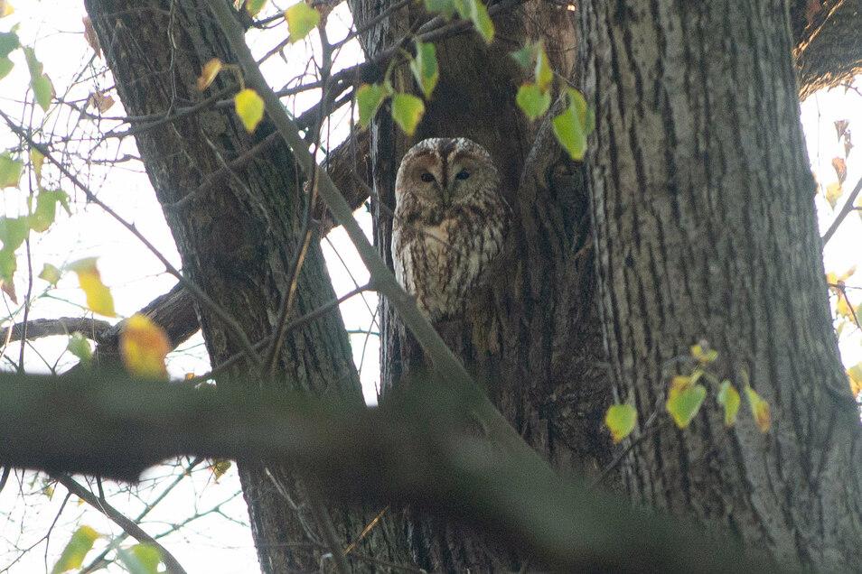 Am Schimpfen der anderen Vögel erkennt Klaus Fabian, auf welchen Bäumen sich der Waldkauz eingenistet hat. Dieser hier hat sich seine Höhle direkt an der Hauptallee im Großen Garten gesucht und wartet auf die Dämmerung.