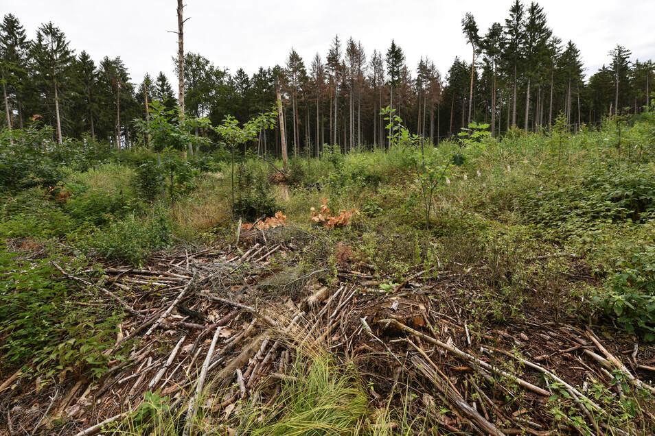 Am Dachsenberg bei Langebrück sind mehrere Hektar Fichtenbestand abgestorben.