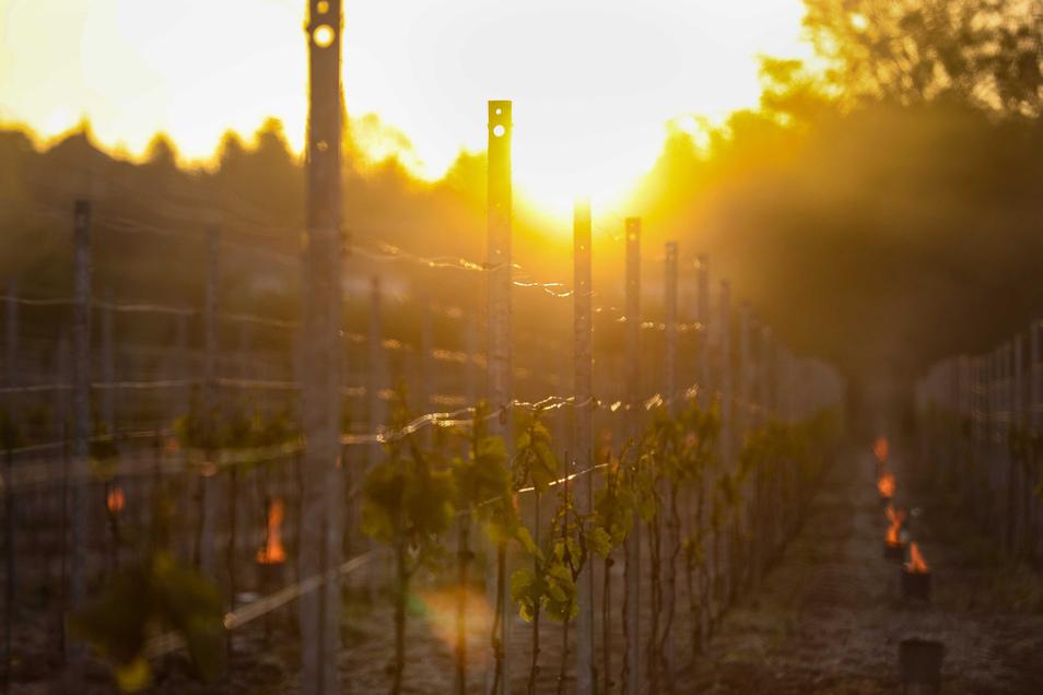Bei aufgehender Sonne brennen die Frostkerzen neben den Weinstöcken.