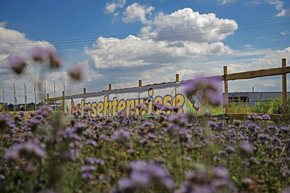 Das Ergebnis: Die Insektenwiese blüht derzeit violett. Es sollen aber noch weitere Blumen dazukommen.