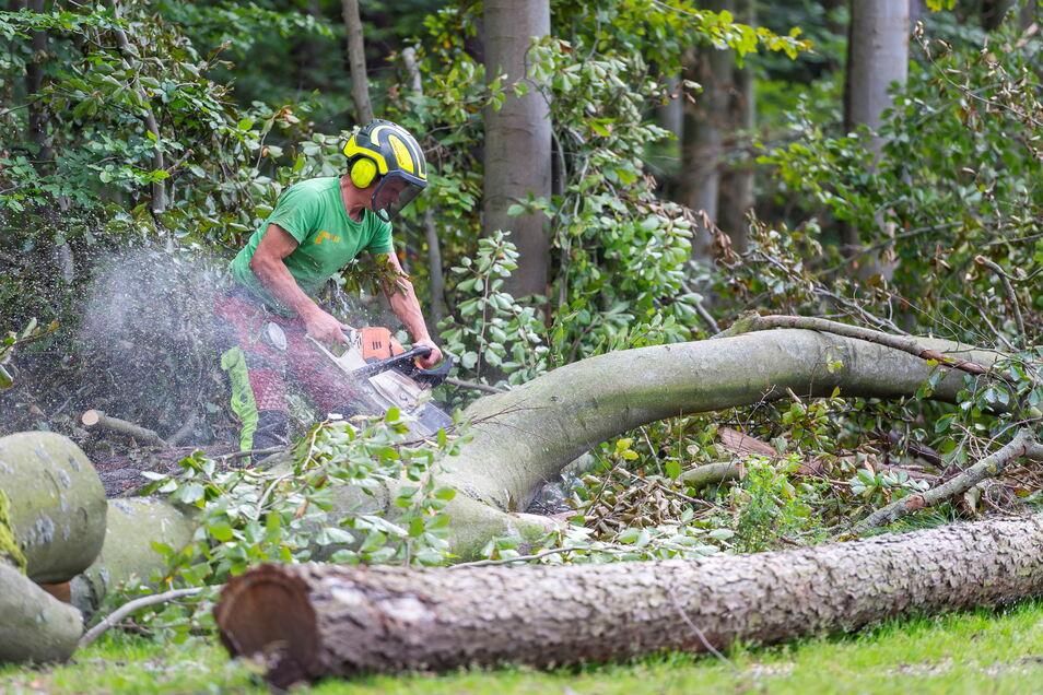 Ein Waldarbeiter zerlegt eine alte Rotbuche in unmittelbarer Nähe zum Moritzburger Schloss. Der Baum ist ein Hitzeopfer.