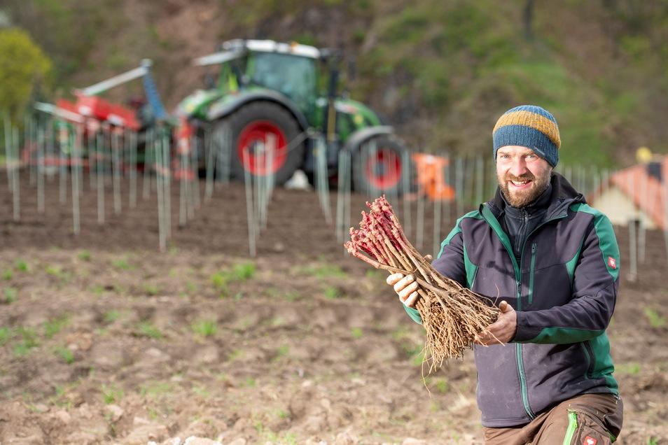 Wackerbarth-Weinbauleiter Till Neumeister auf dem Johannisberg in Radebeul mit einem Bündel der Reben vom Gamay-Rotwein. Nach Jahrhunderten wird dieser Wein nun wieder in Sachsen angepflanzt.