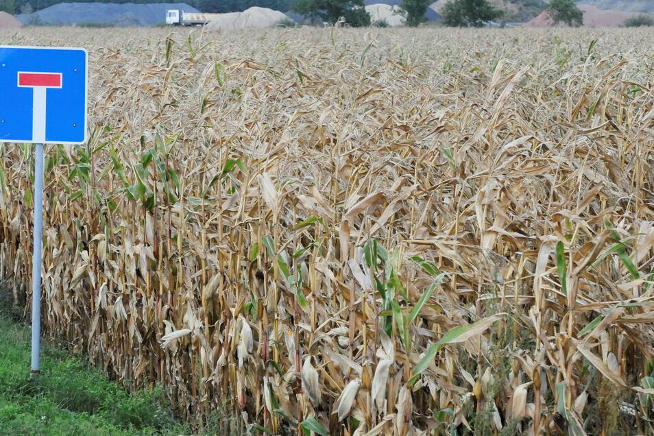 Nur ein Maisfeld rettete dem Unfallopfer eines rücksichtslosen Kurierfahrers vermutlich das Leben.