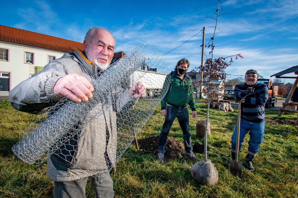 """Rolf und Frank Geißler sowie Uwe Reichel (von links) haben am Montag in Leisnig eine neue Reformationseiche gepflanzt. Die vorherige haben die Wühlmäuse """"verspeist"""". Draht soll das beim Nachfolgerbaum verhindern..."""