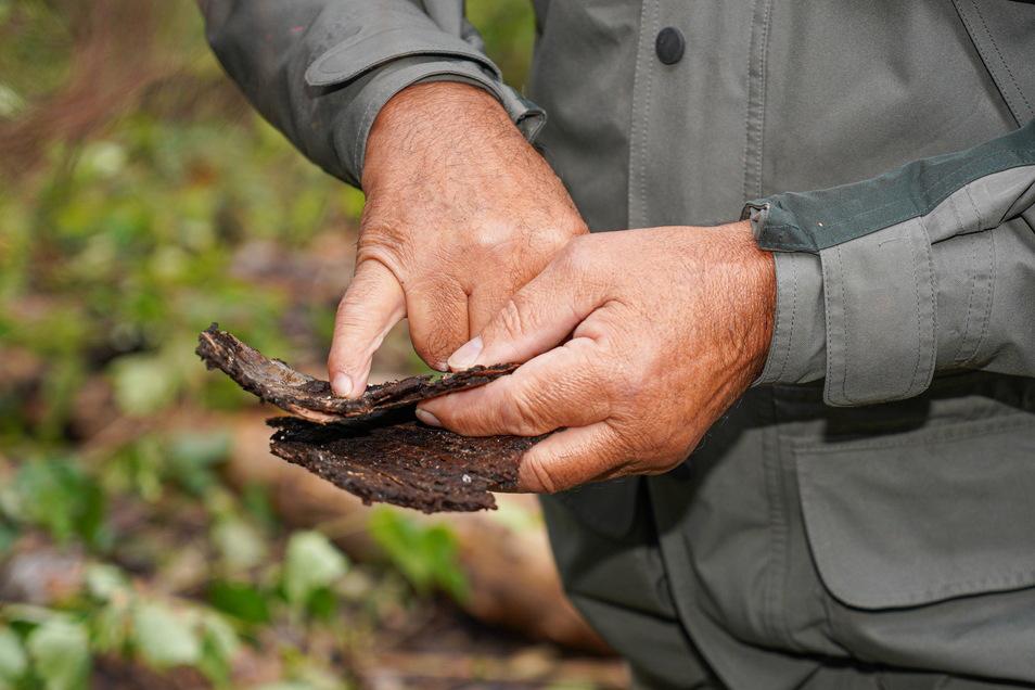 Der Borkenkäfer frisst sich nicht ins Holz, sondern befällt die Bastschicht. Die ist für den Nährstofftransport des Baumes verantwortlich. Ist der gestört, stirbt das befallene Gehölz ab.