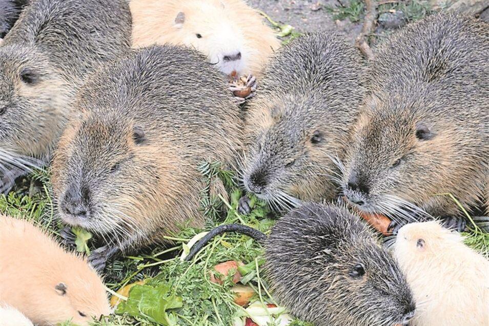 Die größte Wildtiergruppe sind die Nutrias. 20 Exemplare leben hier.