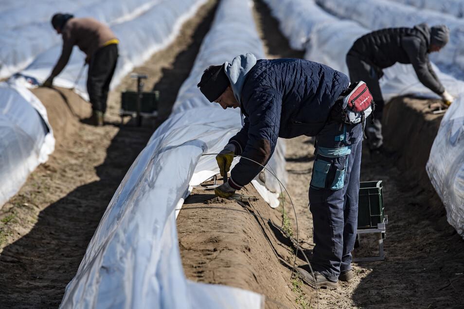Saisonarbeiter stechen auf einem Feld unweit von Kremmen bereits den ersten Spargel.