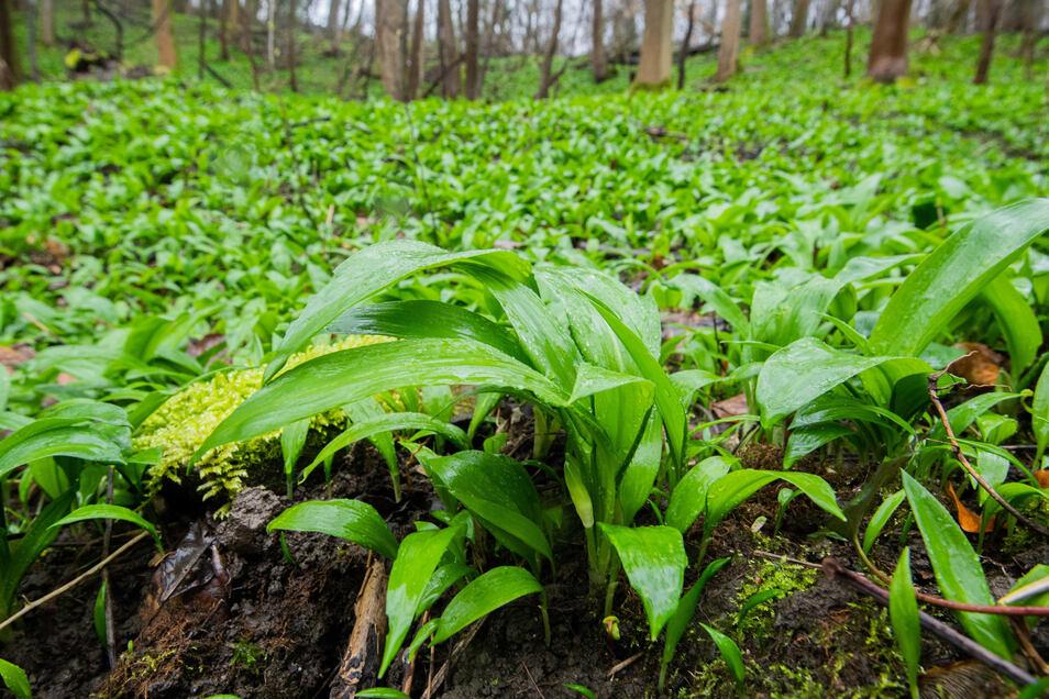 Bärlauch im Naturschutzgebiet Kamm des Wesergebirges unterhalb der Schaumburg. Die Pflanze wird mitunter mit Maiglöckchen verwechselt - die sehr giftig sind.