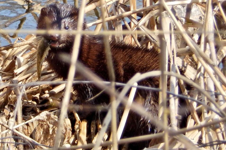Ein ganz besonderer Schnappschuss ist dieser Otter mit einem frisch gefangenen Fisch im Maul.