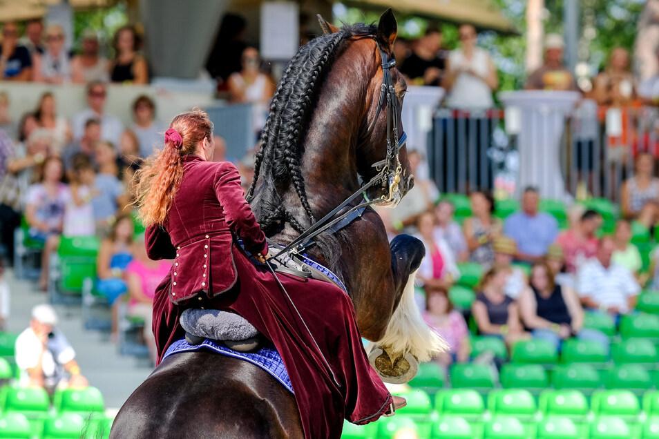 Gelungene Premiere der Schau der großen Pferde in Moritzburg. Der Deutsche Shire Horse Verein e. V. hatte am Sonnabend zu seiner diesjährigen Bundeszuchtschau nach Moritzburg eingeladen.