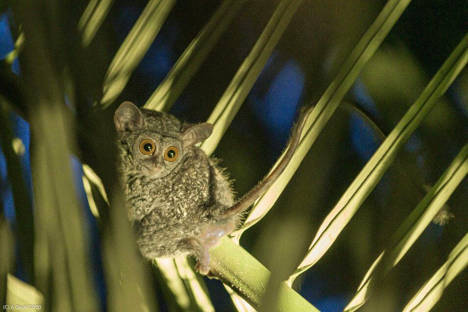 Eine Begegnung mit Tarsius – der kleinste Primat der Welt - gehörte zu den außergewöhnlichen Begegnungen der Sänger.