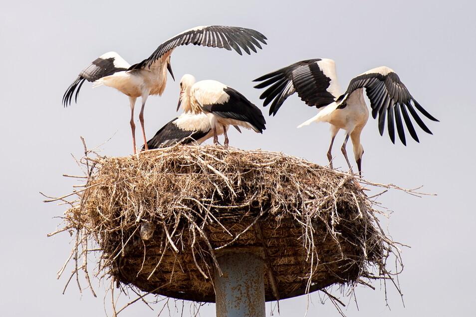 Mit vier ausgeflogenen Jungvögeln waren die Berbisdorfer Störche 2019 die erfolgreichsten in der Region. Im Vorjahr schaffte es dort allerdings keines der geschlüpften Tiere.