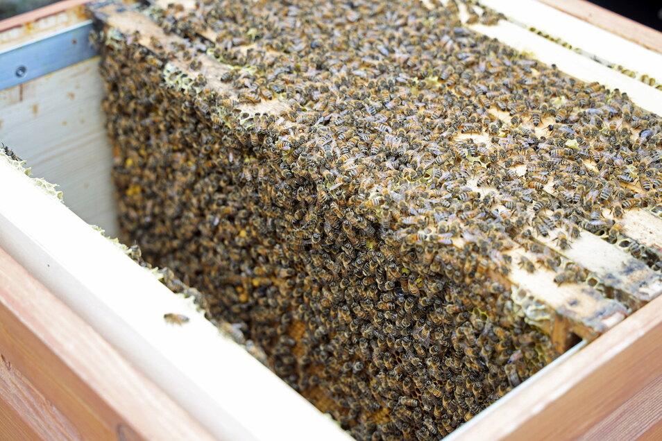 Rund 30.000 Tiere gehören aktuell zum Riesaer Bienenvolk. Es könnten im Laufe der Zeit etwa 50.000 werden.