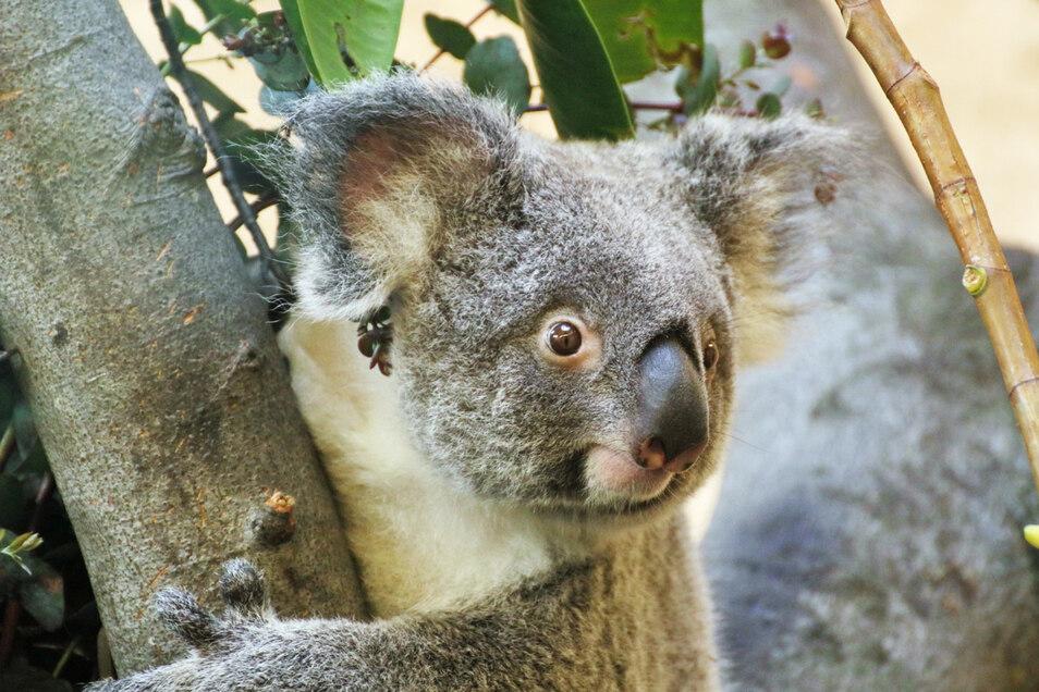 Zoo-Koala Sydney hat nun offenbar ein Baby