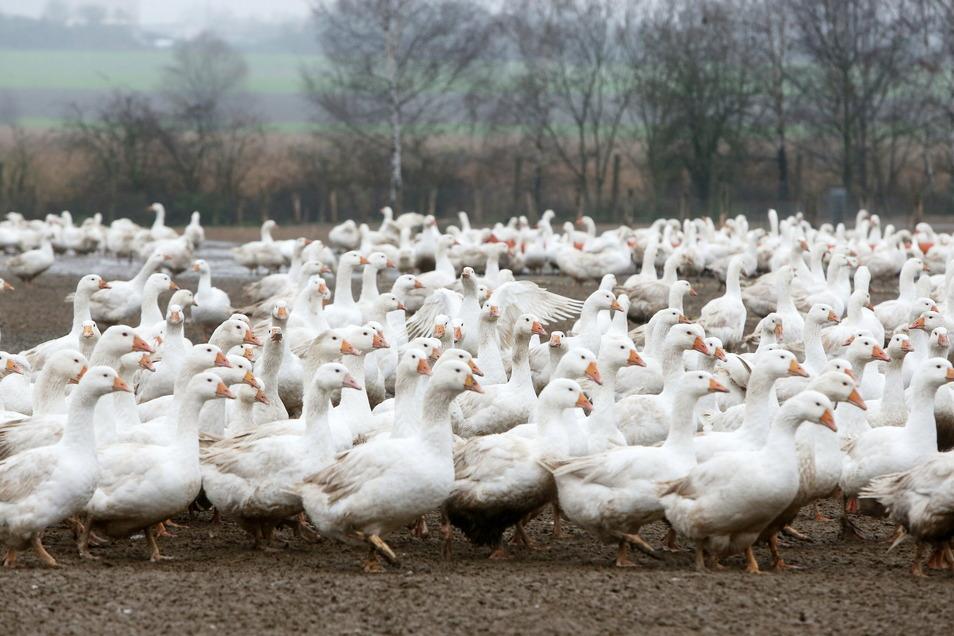 30.000 Tiere zieht Lorenz Eskildsens Gänsefarm in jedem Jahr heran. Es ist die größte Anlage ihrer Art in Sachsen.
