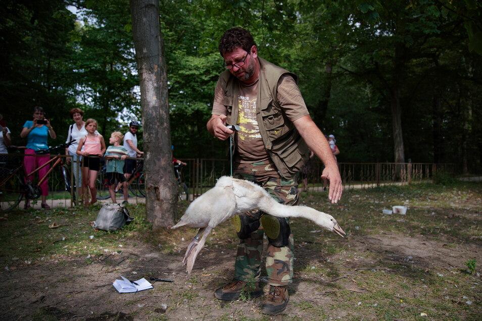 Thomas Eißer ist der Herr der Schwäne in Dresden: Er beringt und wiegt die Jungtiere.