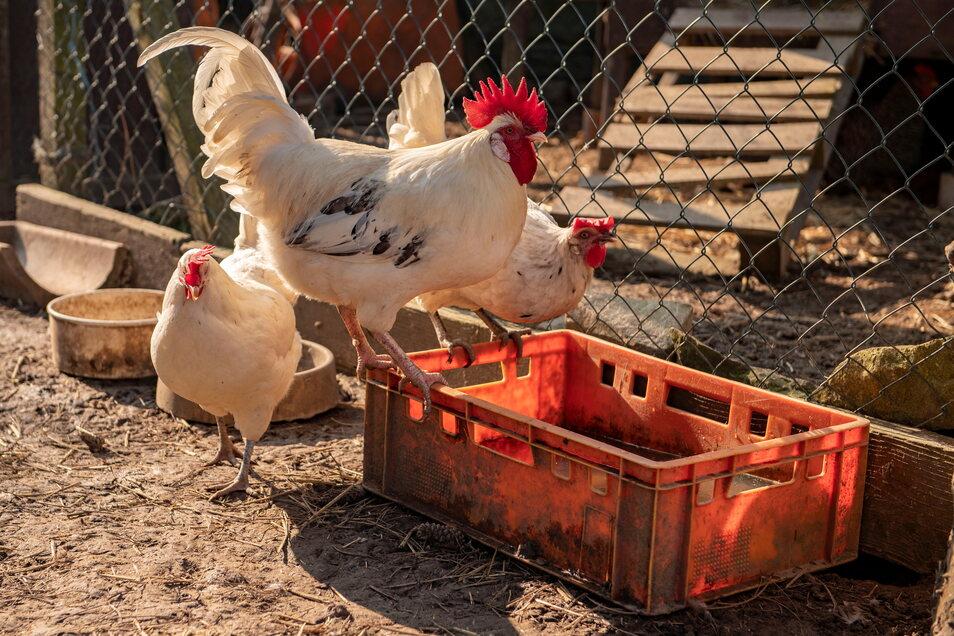 Noch ziemlich flott und munter sind diese bereits sehr betagten Hühner. Als ihr früheres Zuhause, ein Bauernhof, aufgelöst worden ist, kamen sie nach Blattersleben.