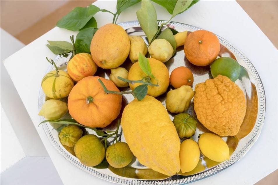 Bittersüße Ernte: Zitrusbäume und ihre Früchte sind die Großsedlitzer Spezialität.