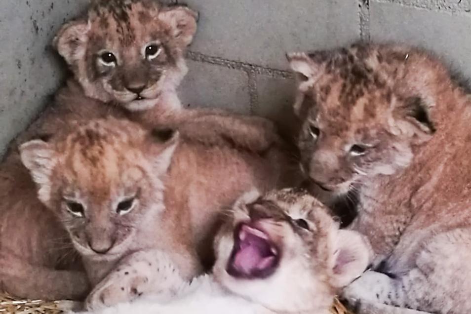 Die vier Jungtiere im Leipziger Zoo