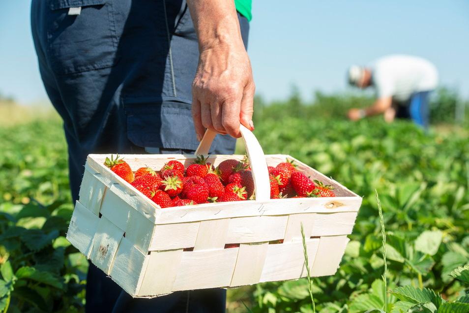 Immer ein Bücken wert: Erdbeeren zum Selberpflücken gibt es jetzt in Lenz, aber auch auf den Feldern in Kmehlen und Ponickau.