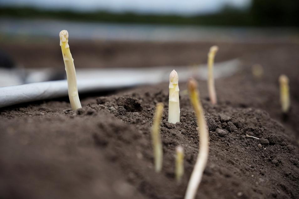 Diese Spargelstangen ragten Ende Mai aus den Nauwalder Dämmen. Reichlich einen Monat später geht die Ernte nun zu Ende.