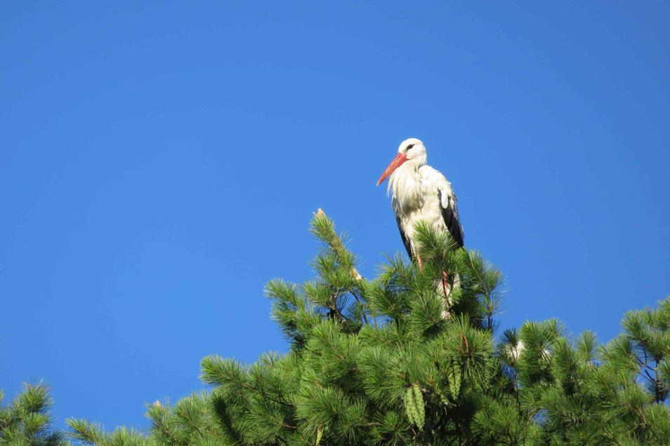 In Burkau macht es sich ein Storch auf und in einer Kiefer bequem. Dr. Hannelore Freidt beobachtet das seit Jahren und hatte die Kamera im richtigen Moment griffbereit.