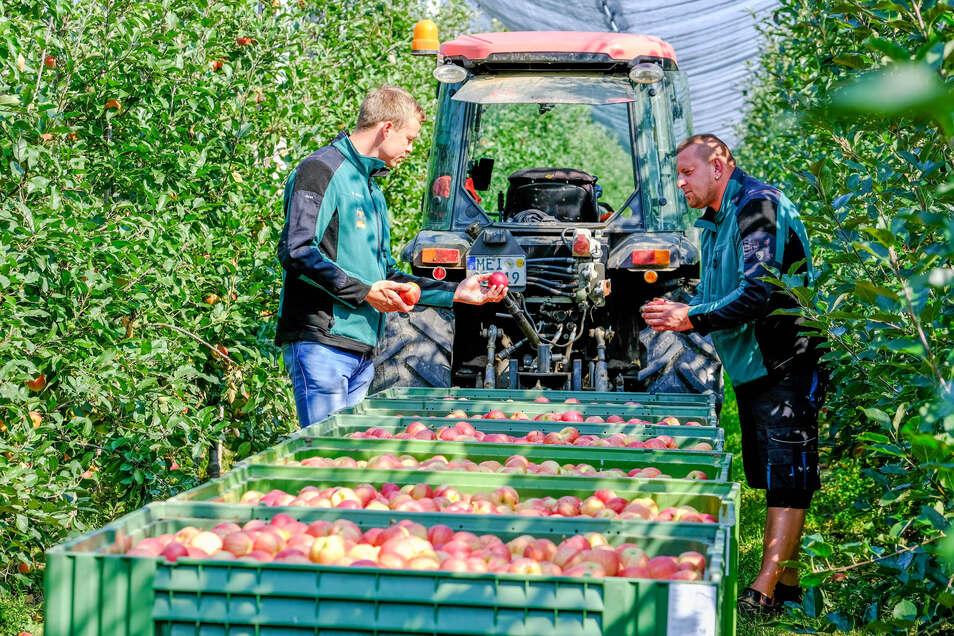 Andrey Ghiura (r.) und Firmenchef Michael Görnitz kontrollieren, die Qualität der Früchte. Aufgrund der günstigen Lage im Elbtal war der Betrieb nicht so stark vom Maifrost betroffen.