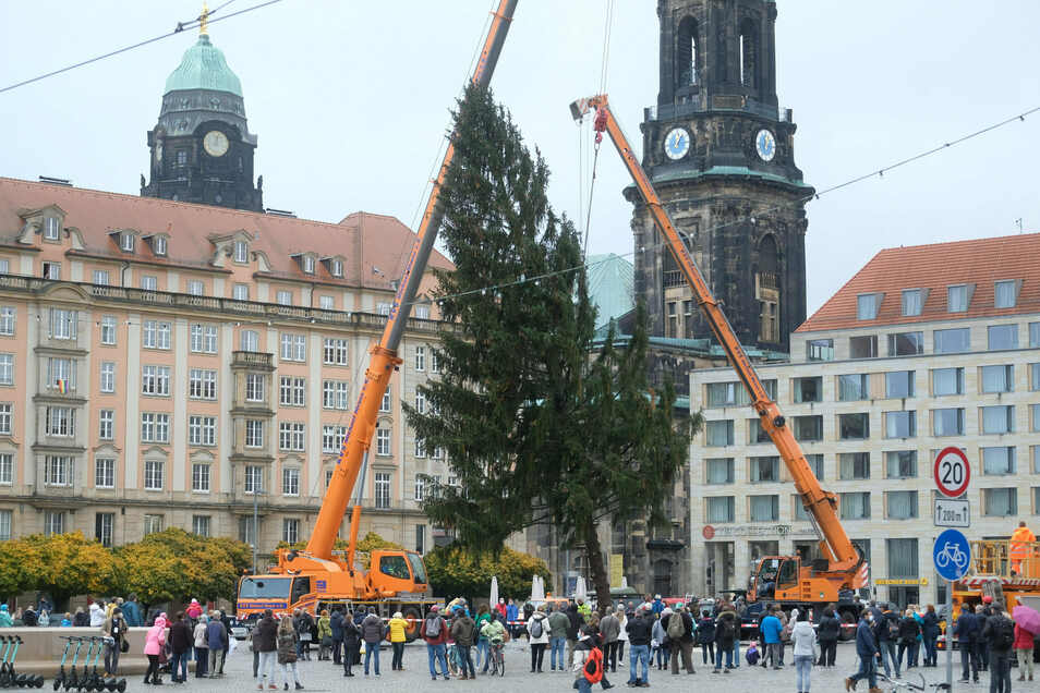 Der 120 Jahre alte und 37 Meter hohe Baum aus der Dresdner Heide wird am Montag mit einer Lichterkette aus 16.000 Lampen bestückt.