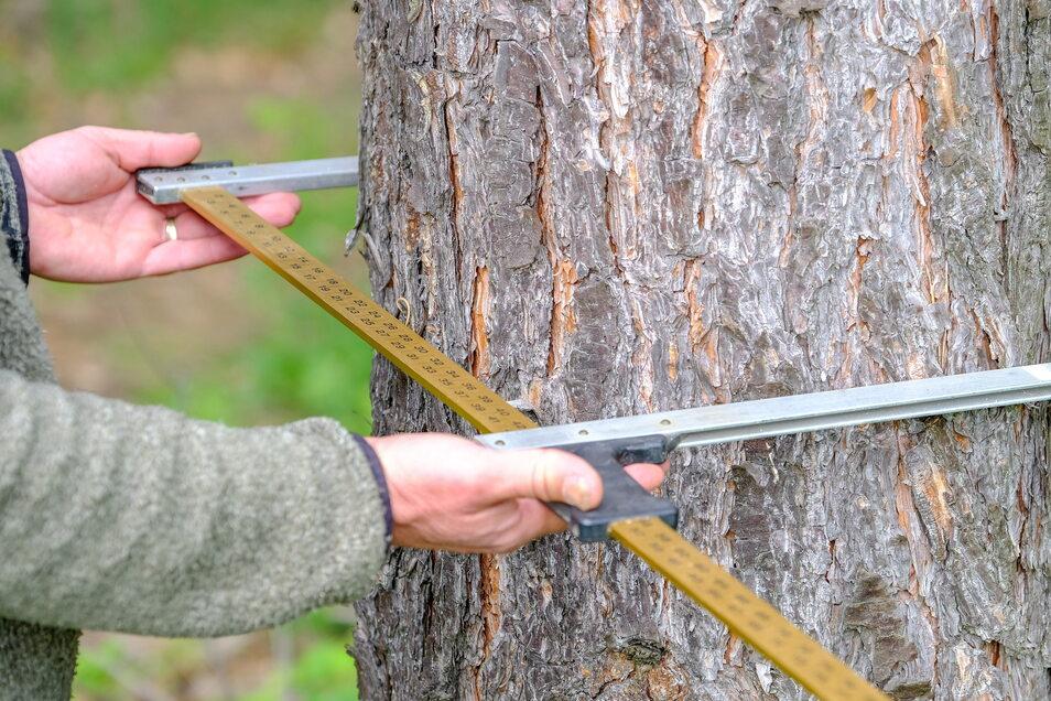 Mit einer Messkluppe werden die Maße eines Baumes genommen, die entscheiden, ob ein Gehölz geschützt ist oder nicht.