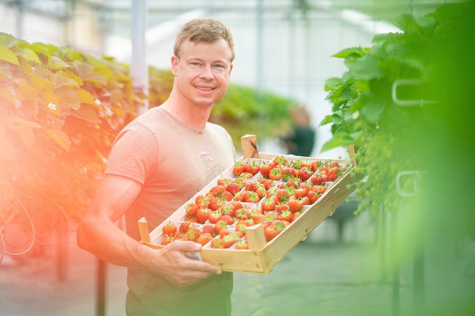Obstbauer Michael Görnitz mit den ersten Erdbeeren aus seinem Gewächshaus.