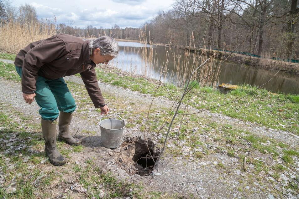 Teichwirt Rüdiger Richter zeigt den Vergleich: Mehr als eimergroß ist das Loch, das der Biber mit seinen durch den Damm des Krebaer Königsteiches gegrabenen Röhren verursacht hat.