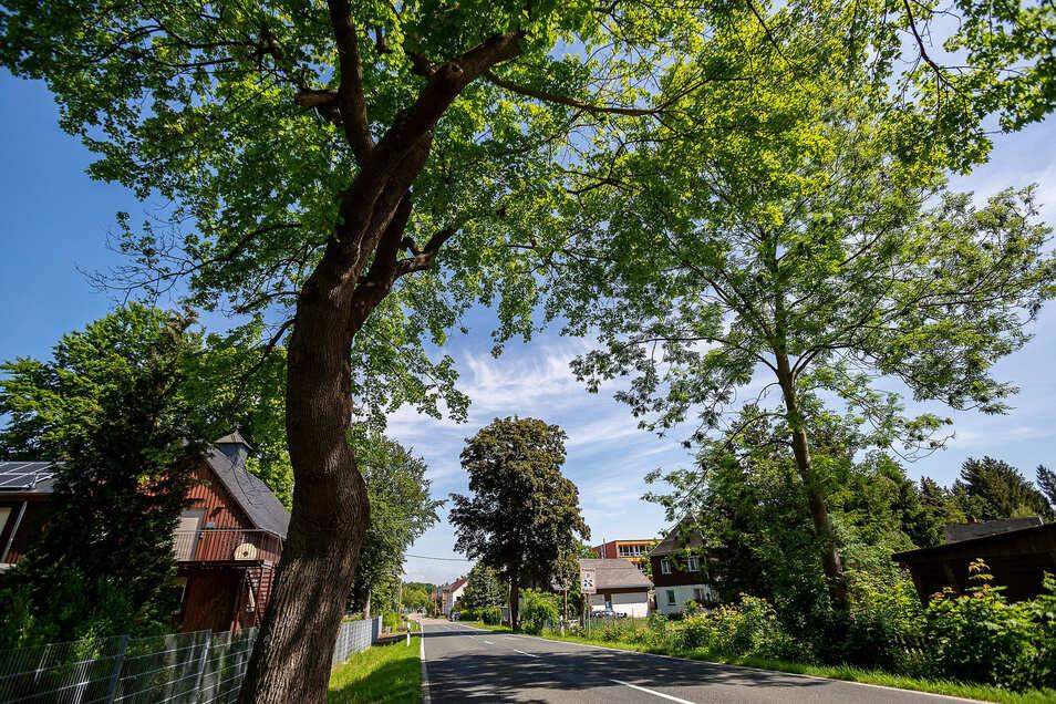 Idyllisch stehen diese Bäume an der Straße in Klingenberg. Aber sie können auch eine Gefahr werden. Dem beugt die Gemeinde jetzt mit einem digitalen Kataster vor.